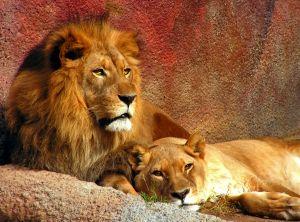 756260_lions_resting.jpg