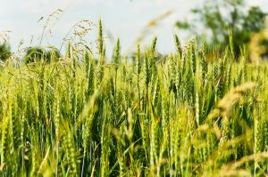 1197439_wheat-field_close-up